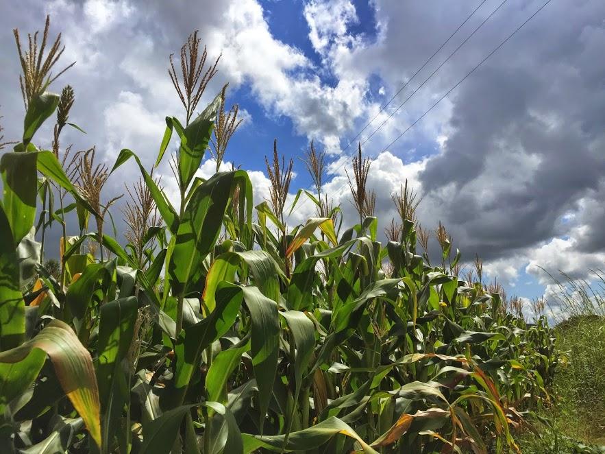 Maize, the main staple food of Zimbabwe