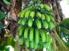 Farm project bananas